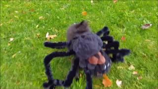 Pomeranian spider costume Halloween