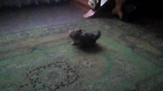Бедный чек моя собака пикенес мальчик бяся играет довольный после ужина😄😄😄🐶🐶