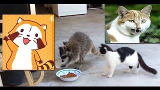 猫のエサを奪いに来たアライグマ。臆病に逃げる姿が秀逸