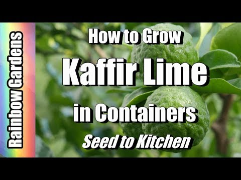 How to Grow Kaffir Lime Trees in Containers, Seed to Kitchen! Meyer Lemon, Calamondin, More