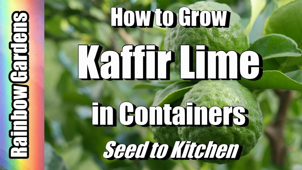 How to Grow Kaffir / Makrut / Magrut Lime  \u0026 Citrus Trees in Containers, Seed to Kitchen! Lemon too!