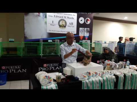 International Cat Show(CFA) JEC Yogyakarta 29 mei 2016