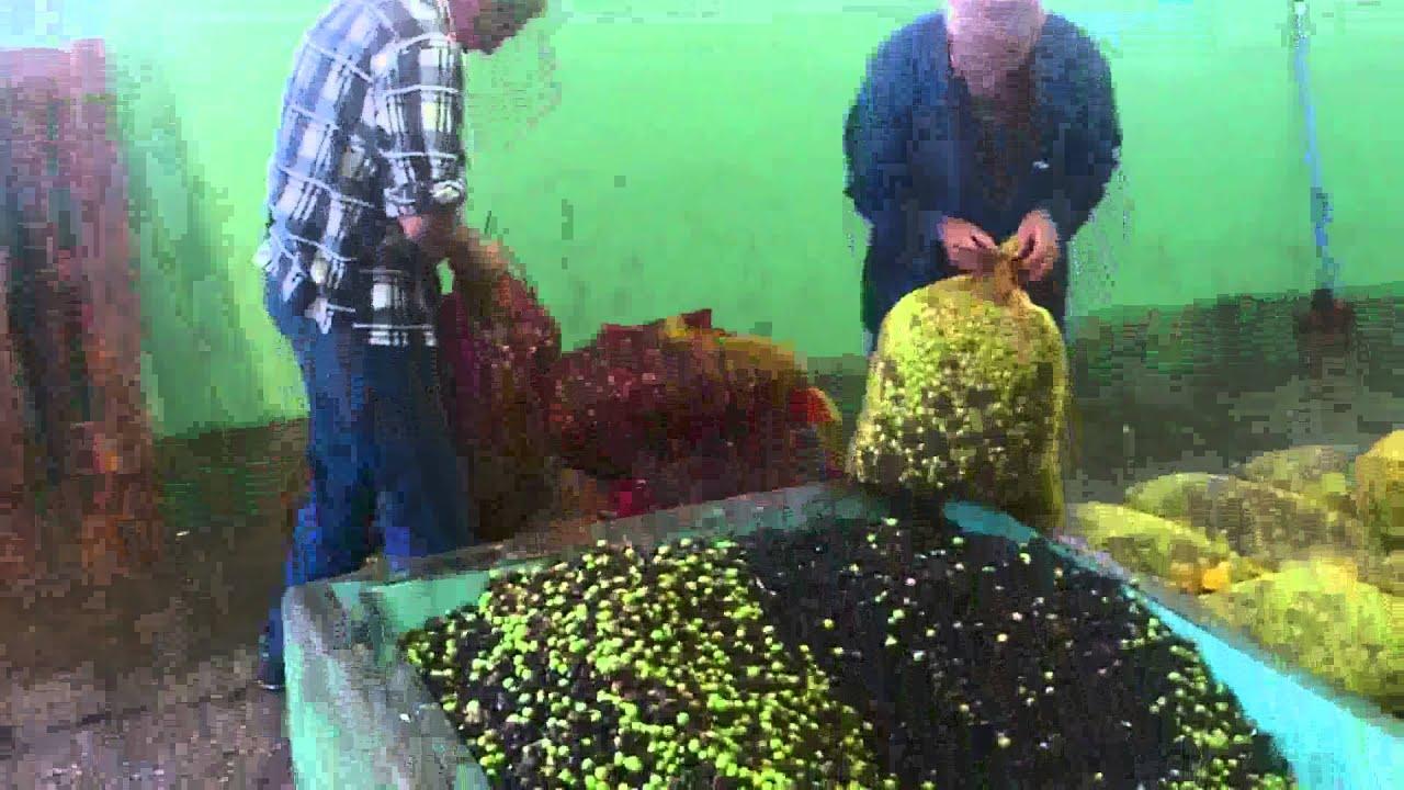 Olívaolaj pinwormokhoz
