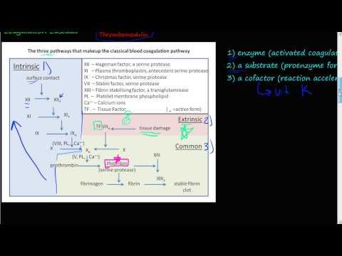 #51 - The Coagulation Cascade, coagulation factors II, XII, IX, and X, extrinsic & intrinsic pathway