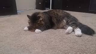 Уссури) бумажка-лучшая игрушка) Сибирская кошка.Смешные коты