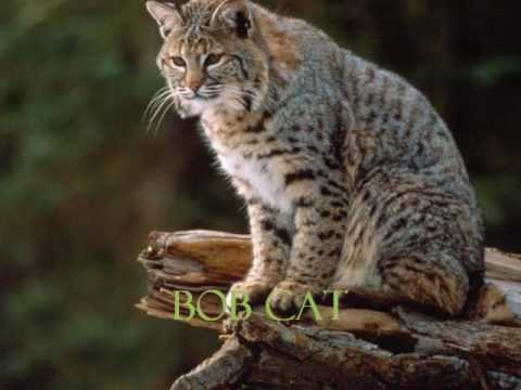 The different type of cat species. - YouTube
