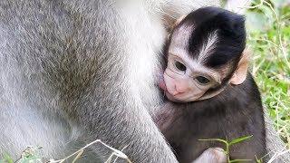 Baby Monkey Breastfeeding, So cute baby monkey