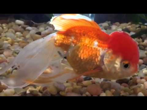 ed2660ca4e81 Goldfish - Artificial Selection - part 2 - YouTube
