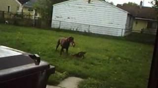 Doberman Pinscher Vs German Shepherd Mix Rottwelier Puppy