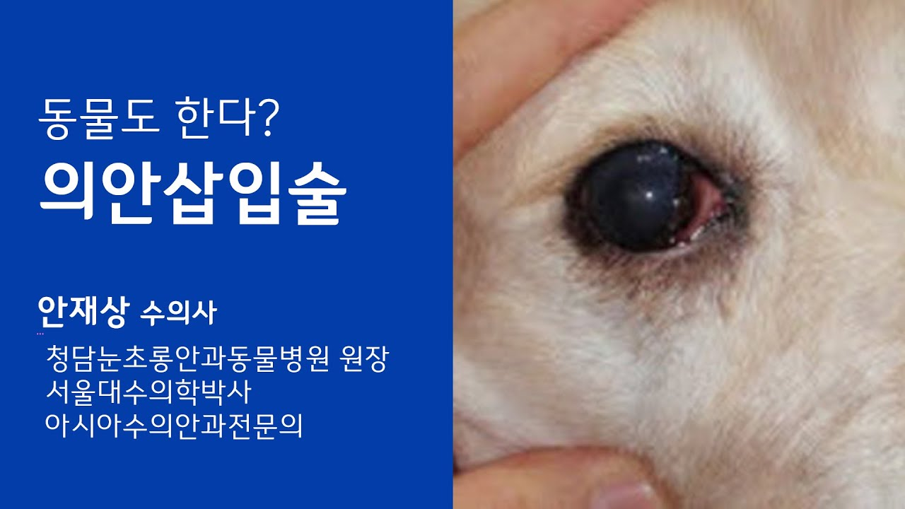 [안과] 동물의안삽입술-  청담눈초롱안과동물병원