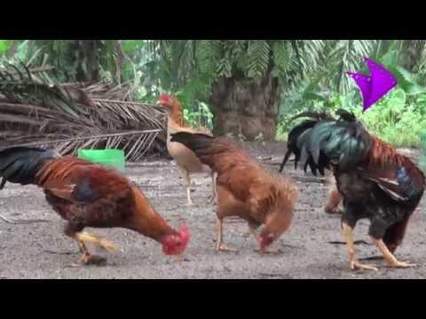 கோழிகளில் நோய் தடுப்பு. Disease control in poultry