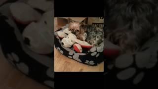 Dog porn yorky miniature