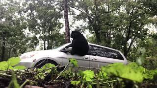 クマの破壊力すげぇ!車に閉じ込められたクマ、窓を一撃で突き破り脱出