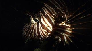 Dangerous Invaders 16 - Lion Fish Invasion