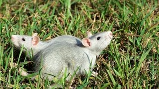 How to Leash & Harness Train a Rat | Pet Rats