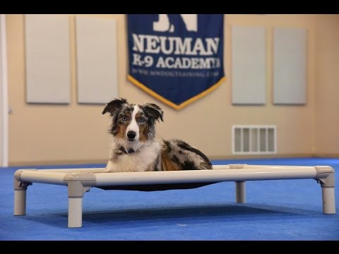 Bear (Miniature Australian Shepherd) Boot Camp Dog Training Video