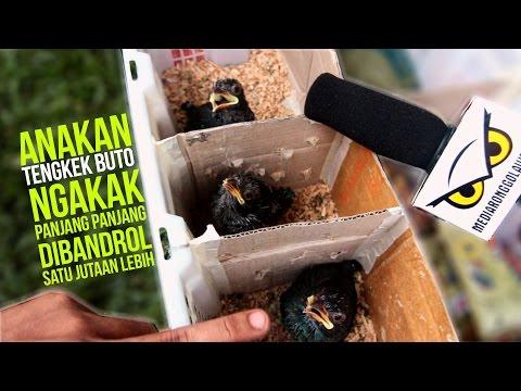 SUARA BURUNG : Anakan Tengkek Buto Ngakak Panjang - Alviary Jaya Bird Shop