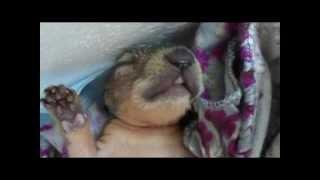 Hazel the Baby Squirrel - Sleeping, Dreaming, Yawning - Wichita Falls Reptile Rescue