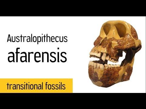 """Australopithecus afarensis (""""Lucy"""")"""