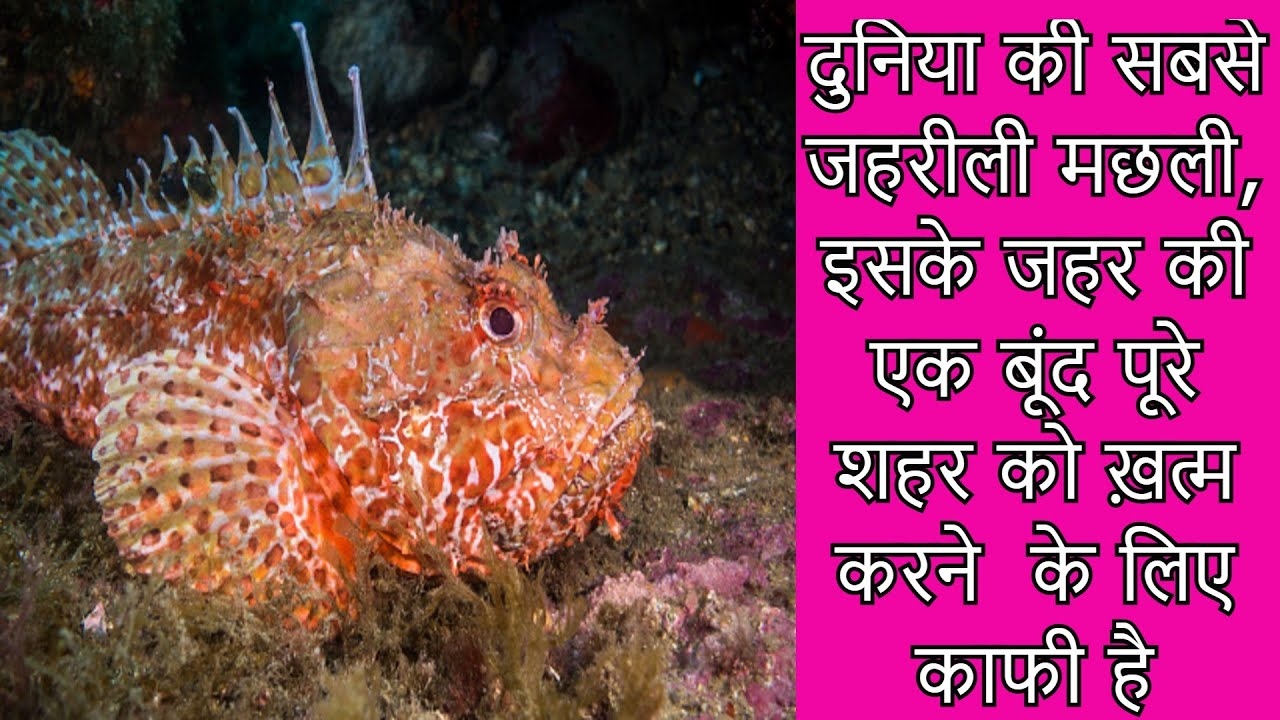 दुनिया की सबसे जहरीली मछली, इसके जहर की एक बूंद पूरे शहर को ख़त्म करने  के लिए काफी है Poisonous Fish