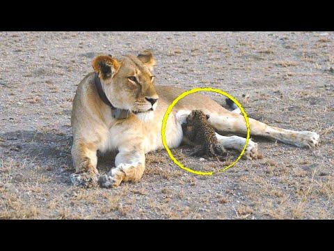 Львица которая замечает брошенного детеныша леопарда, делает то, что эксперты затрудняются объяснить
