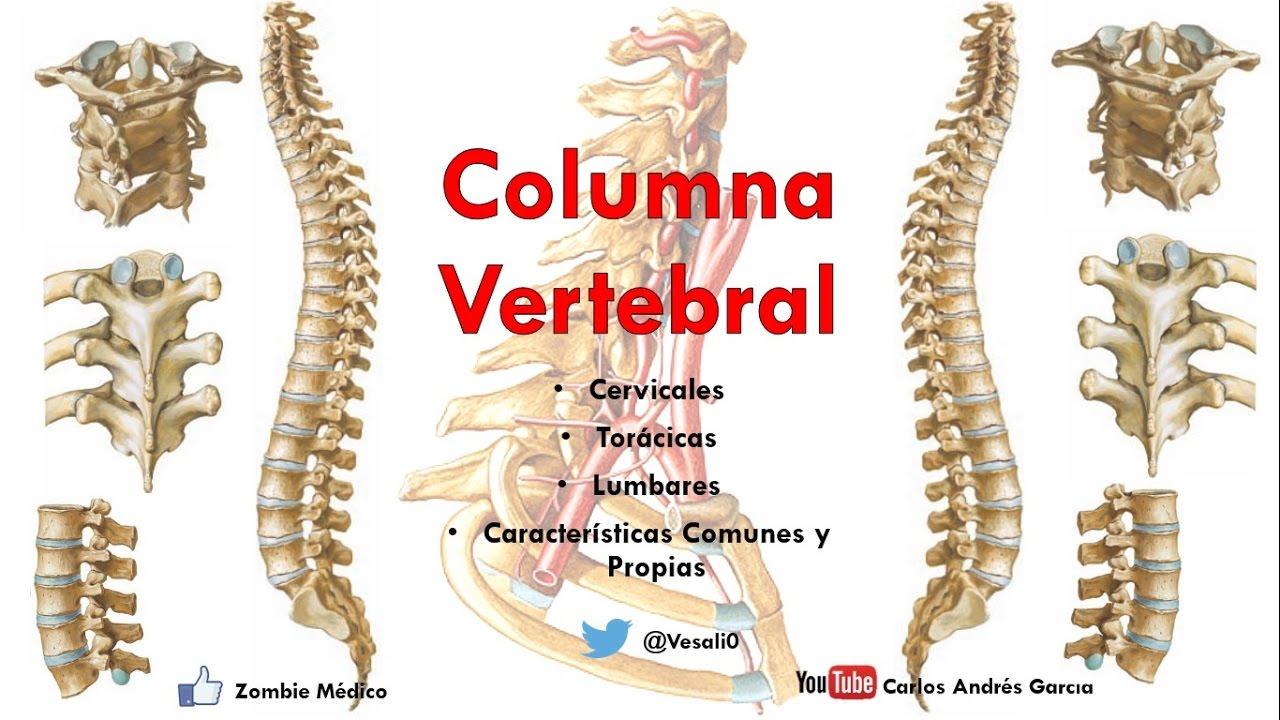 Anatomía - Columan Vertebral (Caracteríticas Comunes y Propias de ...