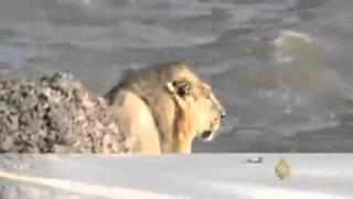 أسد يسبح ببحر العرب يثير رعب السكان بمنتزه هندي