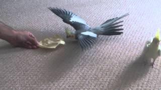 Sora the cockatiel conquers his fear