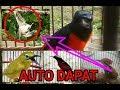 Pikat Semua Jenis Burung Di Jamin Dapat Banyak Bukan Kaleng Kaleng Part I  Mp3 - Mp4 Download