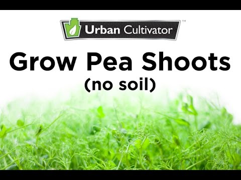 How to grow Pea Shoots without Soil