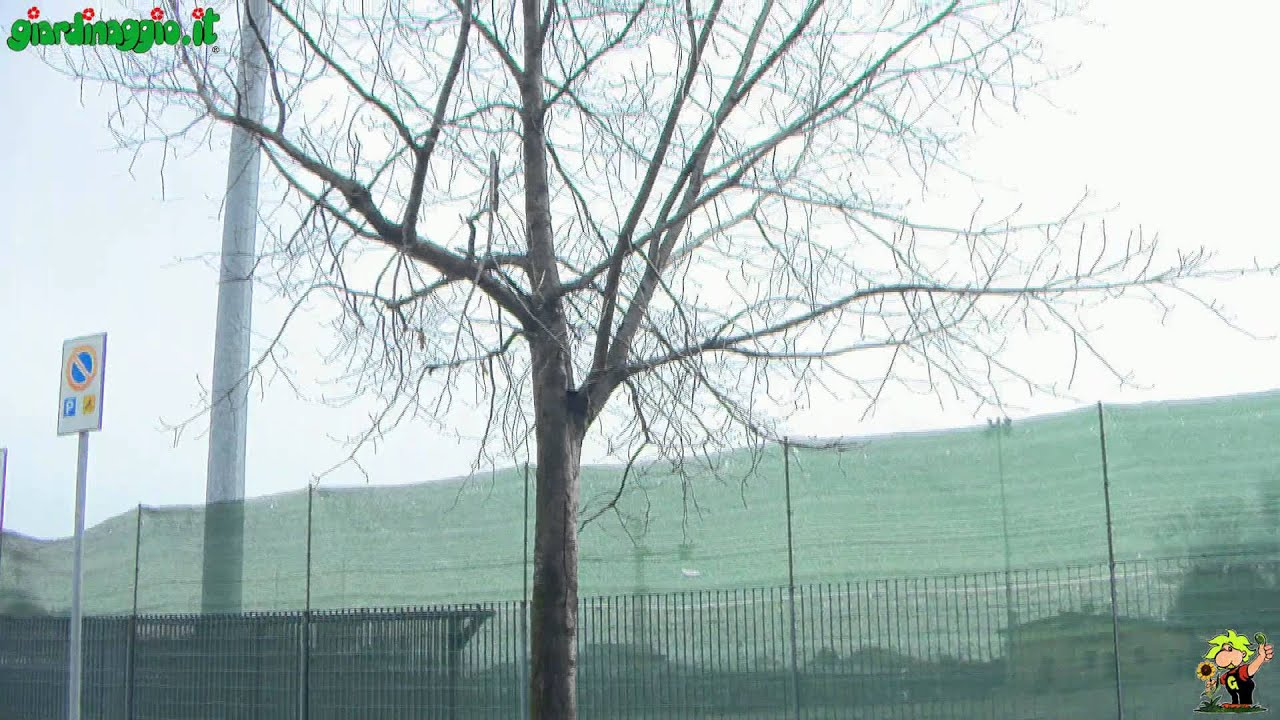 Periodo Migliore Per Potare Quercia rovere - alberi - coltivare il rovere