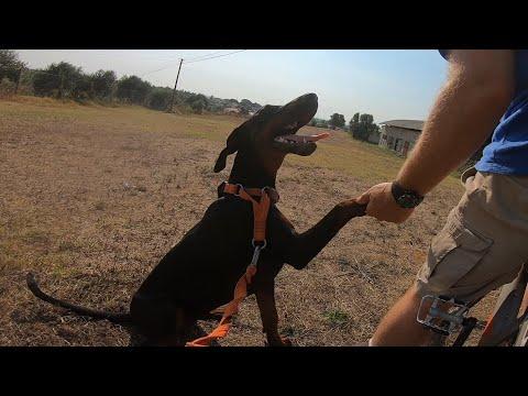 Cachorra Dobermann 8 meses no Treino de cães Caniroa Caninusbiker®
