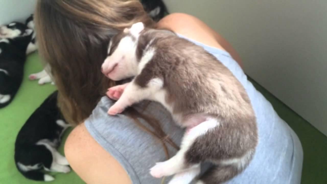 Image result for husky owner sleep