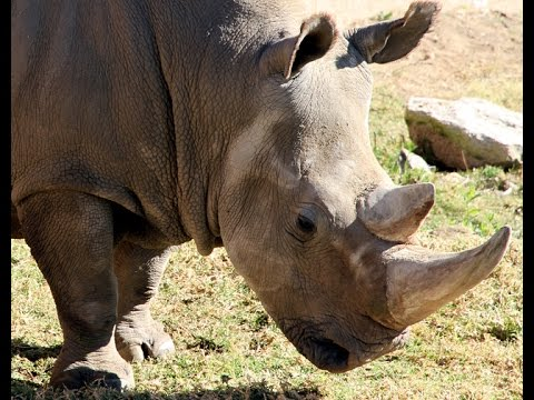 Bringing Northern White Rhinos Back From Brink of Extinction - San Diego Zoo Global