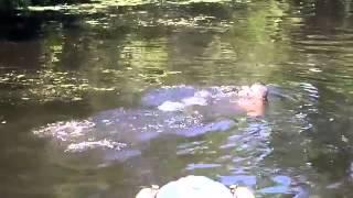 Un Homme Se Baigne Avec Des Alligators Pour Les Nourrir