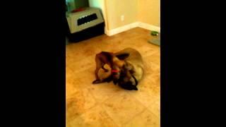 Bullmastiff Dog Vs Rhodesian Ridgeback X German Shepherd Puppy
