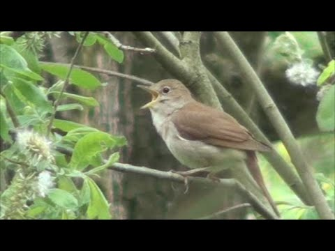 Common Nightingale song