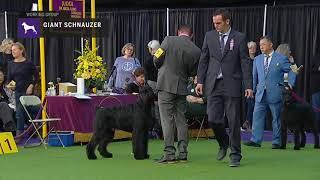 Giant Schnauzers | Breed Judging 2019