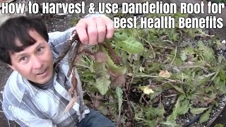 How to Harvest & Use Dandelion Root for Best Health Benefits