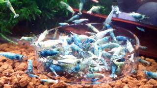 Taiwan Bee. Blue bolt .prl benibachi