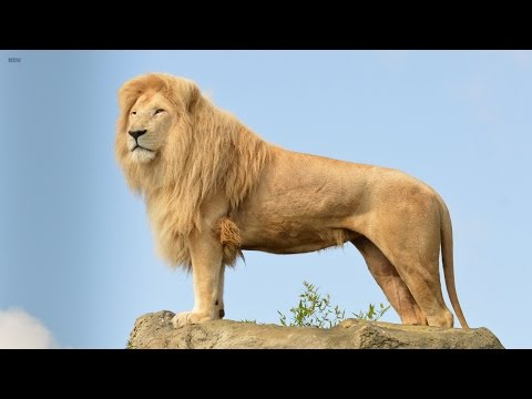Big Cats Of The Timbavati  The King's Pride Wildlife Documentary HD