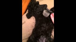 Nelly The Poodle Enjoys Brush Massage