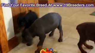 Doberman Pinscher, Puppies, For, Sale, In, Birmingham, Alabama, Al, Montgomery, Tuscaloosa, Jefferso