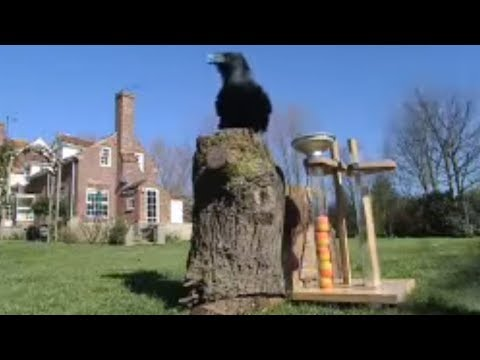 Ravens Solve Test to get Food | Clever Critters | BBC Studios