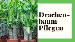 Drachenbaum Pflegen -  Profi-Tipps rund um den Drachenbaum