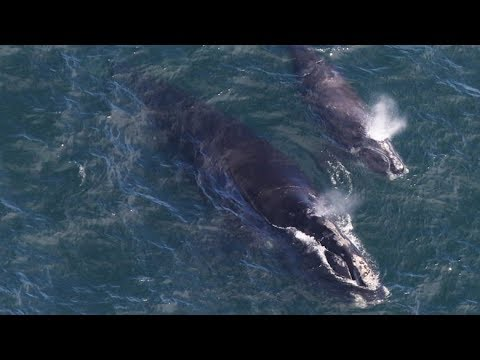 Right Whales Return To Atlantic Canada