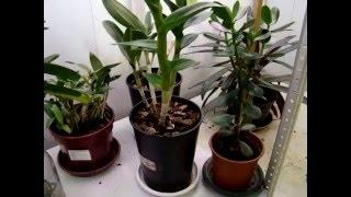 Орхидея Дендробиум и орхидеи Дендробиум.(Орхидея Дендробиум и орхидеи Дендробиум. Уход, посадка. Размножение, деление, пересадка, посадка, цветение,..., 2016-02-11T09:28:03.000Z)