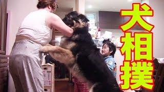 祖母と孫達、ジャーマンシェパード犬マック 寝る前の遊びは今日は相撲で...