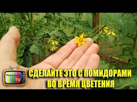 СРОЧНО СДЕЛАЙТЕ ЭТО С ПОМИДОРАМИ ВО ВРЕМЯ ЦВЕТЕНИЯ МНОГО ЗАВЯЗИ 100% ОПЫЛЕНИЕ | урожайный | подкормка | средство | помидоры | полезное | томатов | кислота | урожай | томаты | огород