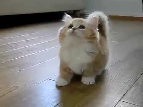 Fluffiest Cat Evar YouTube - 25 of the fluffiest cats ever